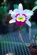 White Orchid<br />