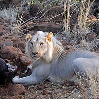 Africa, Kenya, Meru. Lion feeding on the leg of an elephant carcass.