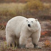 Polar bear (Ursus maritimus) in fall colors.  Western Hudson Bay population of Manitoba, Canada