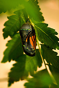 The final stage of monarch development inside the chrysalis is astonishing to witness.