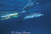 snorkeler and wild Atlantic spotted dolphins, Stenella frontalis, Little Bahama Bank, Bahamas MR 234