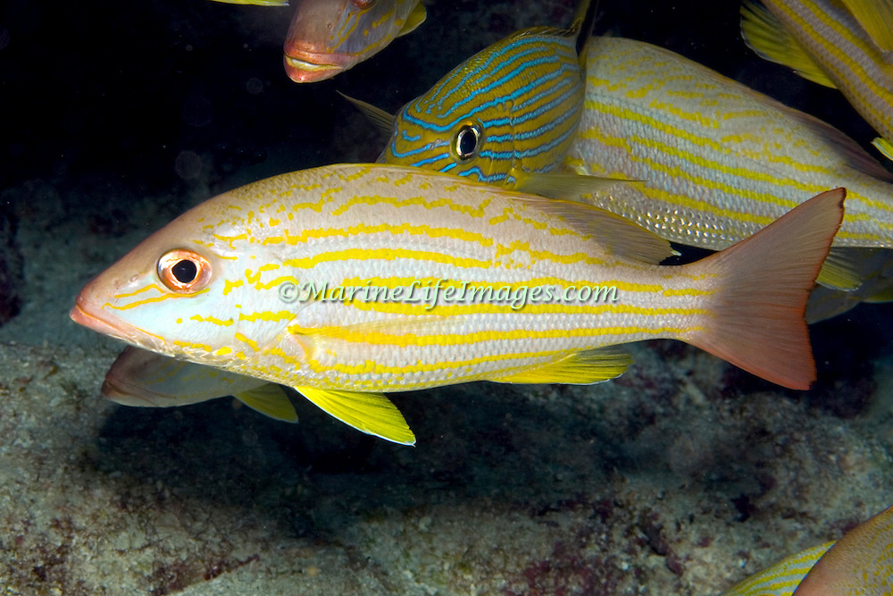 Lane Snapper inhabit shallow and mid-range reefs in Tropical West Atlantic; picture taken Grand Cayman.