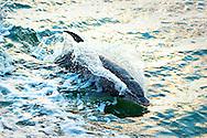 Dolphin Riding Bow Wake