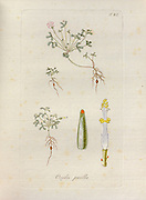 Wood-Sorrel (Oxalis pusilla) Illustration from 'Oxalis Monographia iconibus illustrata' by Nikolaus Joseph Jacquin (1797-1798). published 1794
