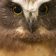 Northern Saw-whet Owl (Aegolius acadicus) fledgling in a forest. Montana