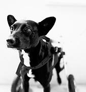 Roma in her wheelchair at California Animal Rehabilitation.