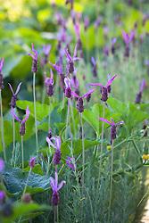 Lavandula stoechas 'Purple Ribbon' - French lavender