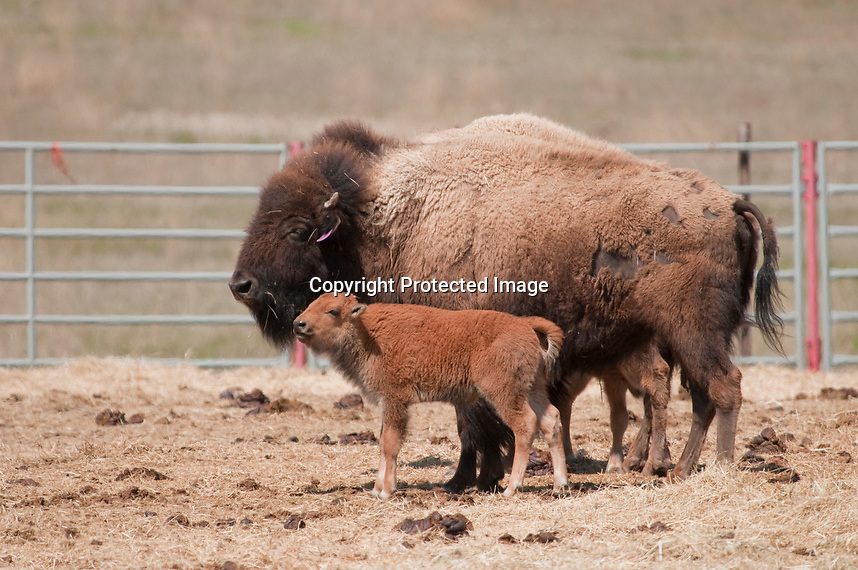 Baby bison born in May 2012 in the genetically pure bison herd moved from the border of Yellowstone Park to the Ft. Peck, Montana Indian Reservation. The bison are being held in an enclosure near Poplar, Montana awaiting a court case that will deceided if they can be released into a 7,200 acre fenced area on the Ft. Peck Indian Reservation and if some of the bison can be sent to the Ft. Belknap Indian Reservation. The environmental law firm Earth Justice will represent the Ft. Peck tribe in the Montana courts.