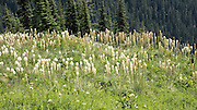 Beargrass meadow on Naches Peak Loop Trail.