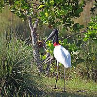 South America, Brazil, Pantanal.  The Jabiru Stork of the Pantanal.