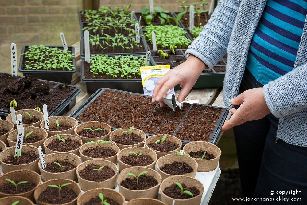 Sowing hardy annuals in module trays in a greenhouse. Agrostemma - Corncockle.