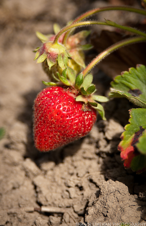 Photo of Hood strawberries from Columbia Farms U-Pick located on Sauvie Island outside of Portland, Oregon.