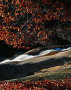 Autumn colors of Amercan beech, Fagus grandifolia, above Cascade Brook, Franconia Notch, White Mountain National Forest, New Hampshire.