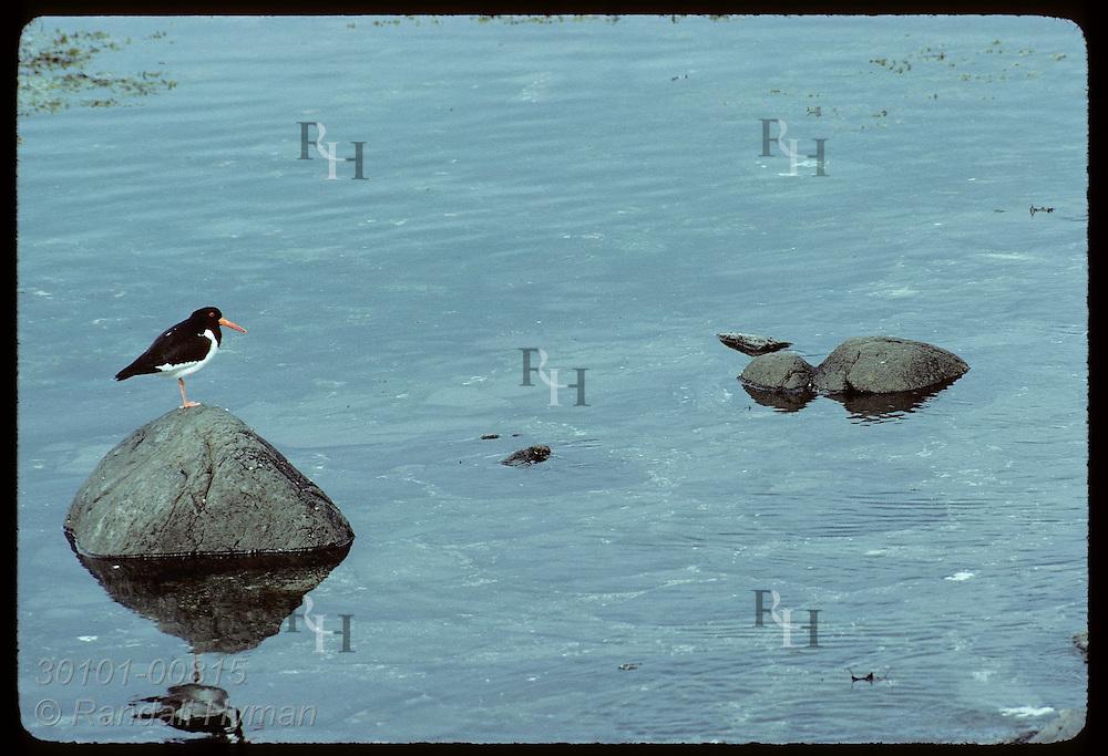Oystercatcher (Haematopus ostralegus) perches on small rock near shore of Vigur Island in June. Iceland
