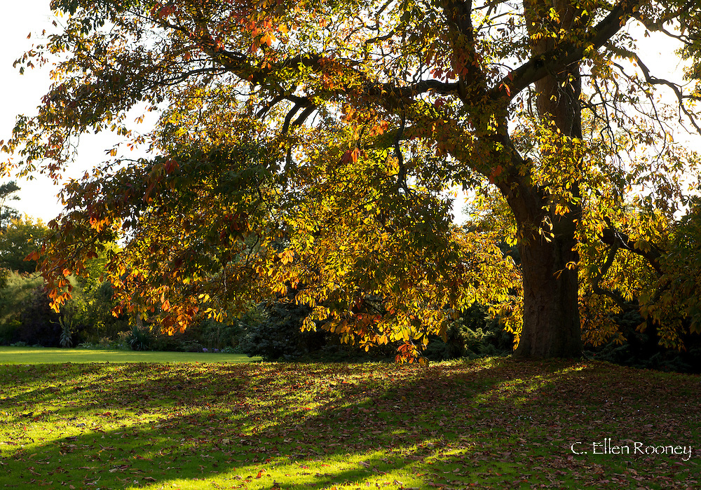 Autumn hues on a chestnut tree in the Waterperry Gardens, Wheatley, Oxfordshire, UK