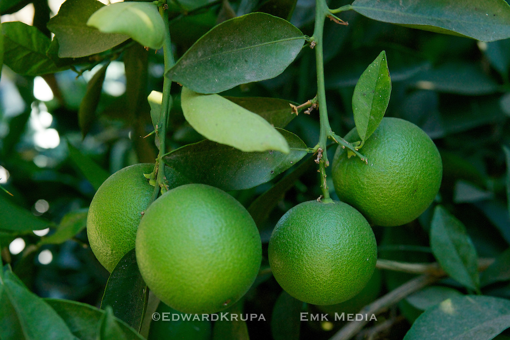 Close up of unripened Oranges growing on a tree.