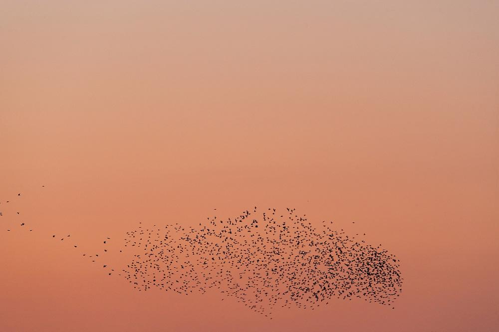 Starling (Sturnus vulgaris), Lake Hornborga, Sweden. March 2009. Mission: Sweden (crane and swan)