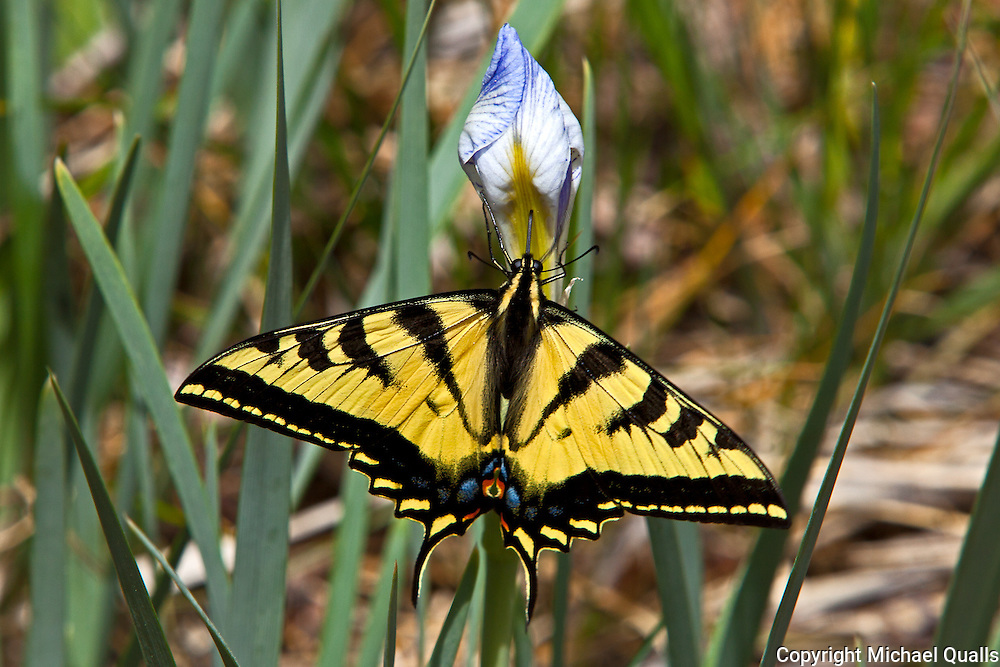 Swallowtail butterfly on wild Iris.  Big Pine Creek, CA.  USA