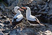 A pair of Nazca boobies  (Sula granti) on Espanola Island, Galapagos Archipelago, Ecuador.