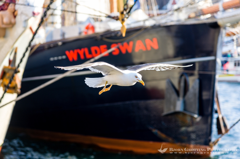 Norway, Stavanger. Tall Ships Race in Stavanger 2011. Lesser Black-backed Gulls.