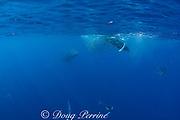Bryde's whale, Balaenoptera brydei or Balaenoptera edeni, approaches baitball of sardines, Sardinops sagax, to feed, off Baja California, Mexico ( Eastern Pacific Ocean ); sea lion and striped marlin move out of whale's way; #1 in sequence of 6