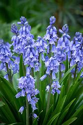 Spanish bluebells - Hyacinthoides hispanica