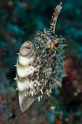 Strapweed filefish: Pseudomonacanthus macrurus, Tulamben, Bali