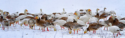March 1st on a snowy afternoon the husband and I decided to head out and see what kind of photos we could capture while it was still snowing.  ..We came across 2 fields along Hwy D in New Melle, Missouri were hundreds of what I believe to be Snow Geese were making themselves at home.  I took this shot as I thought it was unique and interesting. They are beautiful.
