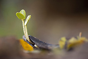 Arbor Day Concept A young seedling sprout of a Carob tree (Ceratonia siliqua) Photographed in Israel in January