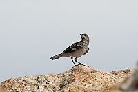 A particularly noisy sage thrasher poses on large rock on sagebrush scrub on Antelope Island in Utah's Great Salt Lake.