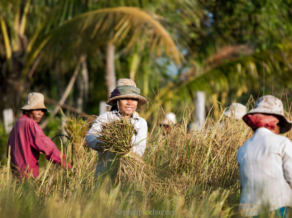 Workers harvest rice from the rice paddys in rural Cambodia. Members of the community help each other harvest their fields.