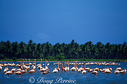 pink flamingos, or greater flamingos,<br /> Phoenicopterus ruber,  <br /> performing courtship ritual at<br /> Chichiriviche, Venezuela, South America