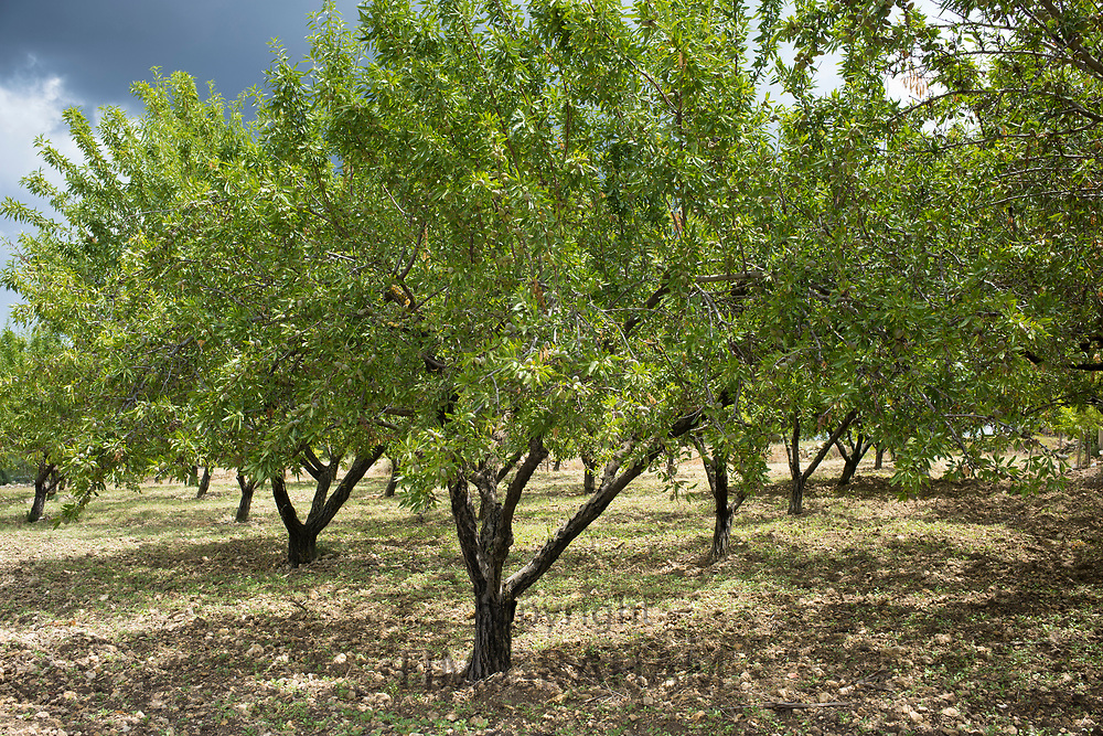 Almonds growing in ancient almond grove for nut production for export in Sicily