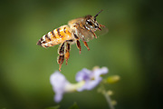 An African honey bee (Apis mellifera scutellata) photographed with a high-speed camera outside Bulawayo, Zimbabwe. © Michael Durham / www.DurmPhoto.com