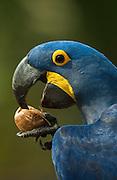 Hyacinth Macaw Drinking from Palm Nut<br /> Anodorhynchus hyacinthinus<br /> (Atalea funifera) Palm nuts<br /> Hyacinth Valley - Biobrazil Reserve,<br /> Cerrado Habitat<br /> Piaui State, BRAZIL. South America<br /> (100% WILD)