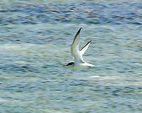 Least Tern (Sternula antillarum). Kralendijk, Bonaire. Image taken with a Nikon D3s camera and 70-300 mm VR lens.