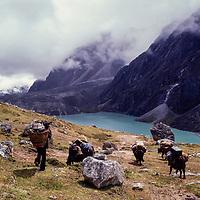 Sherpa with yaks, Khumbu Region, Nepal