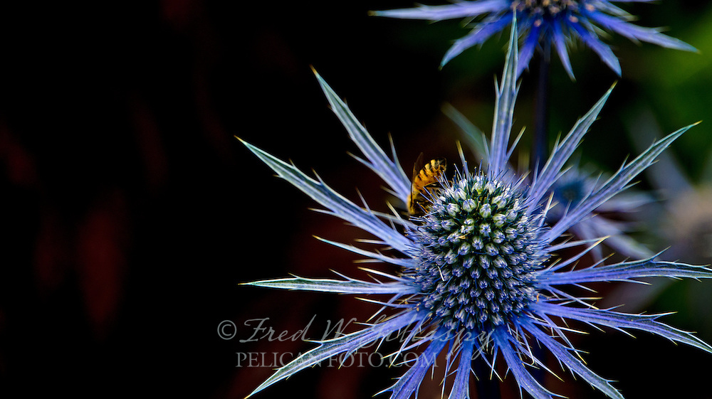 Blue Thistle and Honey Bee