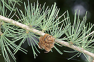 Tamarack Larix laricina (Pinaceae) HEIGHT to 20m <br /> A very slender, upright tree, the N American counterpart of Common Larch, with the smallest cones and flowers of any larch. BARK Pinkish and scaly. BRANCHES Twisted, with curled shoots. LEAVES Dark green, narrow needles with grey bands below. REPRODUCTIVE PARTS Cones purplish, to 2cm long with 15-20 scales. STATUS AND DISTRIBUTION Native to northern N America. Planted occasionally here for ornament.