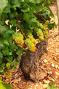Almost ripe chardonnay grapes in the Chablis grand cru vineyard Les Clos, Bourgogne