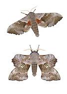 69.003 (1981)<br /> Eyed Hawk-moth - Smerinthus ocellatus