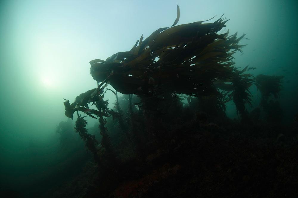 Kelp, Laminaria hyperborea,<br /> Atlantic marine life, Saltstraumen, Bodö, Norway
