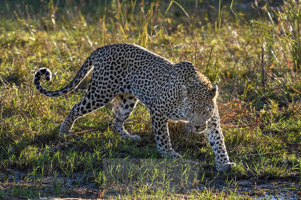Ein männlicher Leopard (Panthera pardus) geht über das Ufer des Sand-Flusses im Schutzgebiet Sabi Sands, Südafrika<br /> <br /> A male leopard (Panthera pardus) is walking on the riverbad of the sand river in the private game reserve Sabi Sands, South Africa