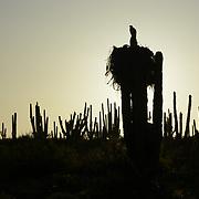 Western osprey (Pandion haliaetus) nest in Cardon, (Pachycereus pringlei),  Punta Cirio, Sonora Mexico