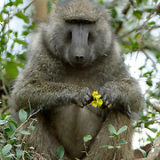 Baboon sitting in a tree in Africa.