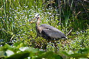 A great blue heron (Ardea herodias) feeds on a bluegill (Lepomis macrochirus) that it caught in the wetland off Foster Island in Seattle's Washington Park Arboretum.