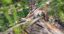07.04.2011, Zoo, Salzburg, AUT, ZOO SALZBURG, im Bild ein Puma liegt im Gras // a cougar lying in the grass pictured at Zoo Salzburg, Austria, 04/07/2011, EXPA Pictures © 2011, PhotoCredit: EXPA/ J. Feichter