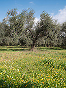 Olive groves near the ancient Roman city of Dougga, a UNESCO World Heritage Site in northern Tunisia