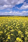 Canola Fields, Riverina Region, NSW, Australia