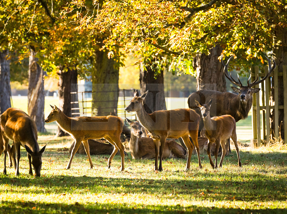 © Licensed to London News Pictures. 01/10/2018. London, UK.  Deer in autumn sunshine and warm weather in Bushy Park in south west London today.  Photo credit: Vickie Flores/LNP